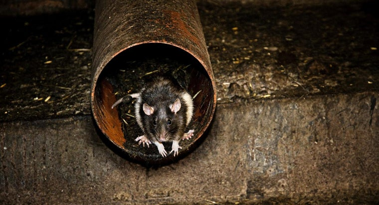 Why Are Rats Dangerous to Man?