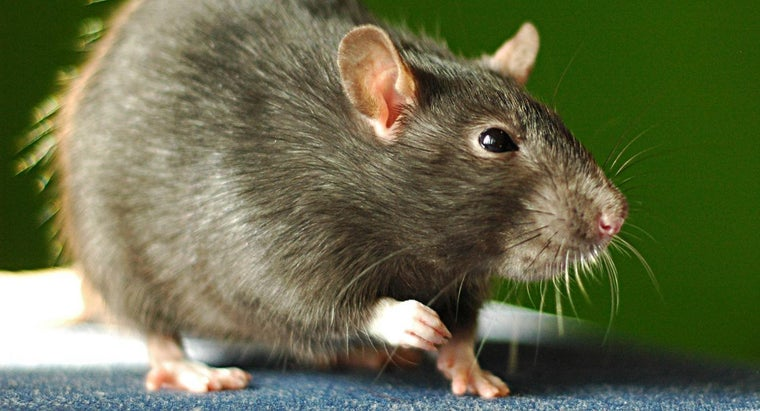 What Do Rats Hate?