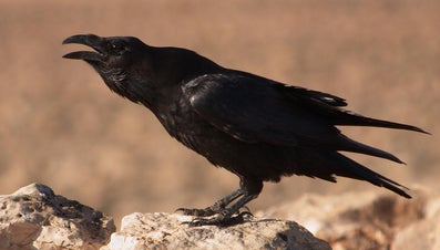 What Does the Raven Symbolize?