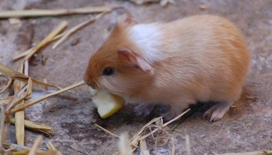 What Is the Record for the Oldest Guinea Pig?