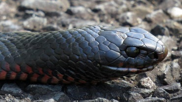 What Is a Red-Bellied Black Snake?