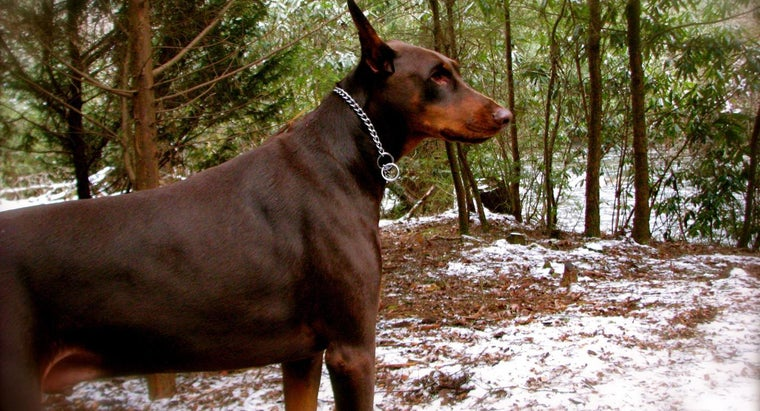 What Is a Red Doberman?