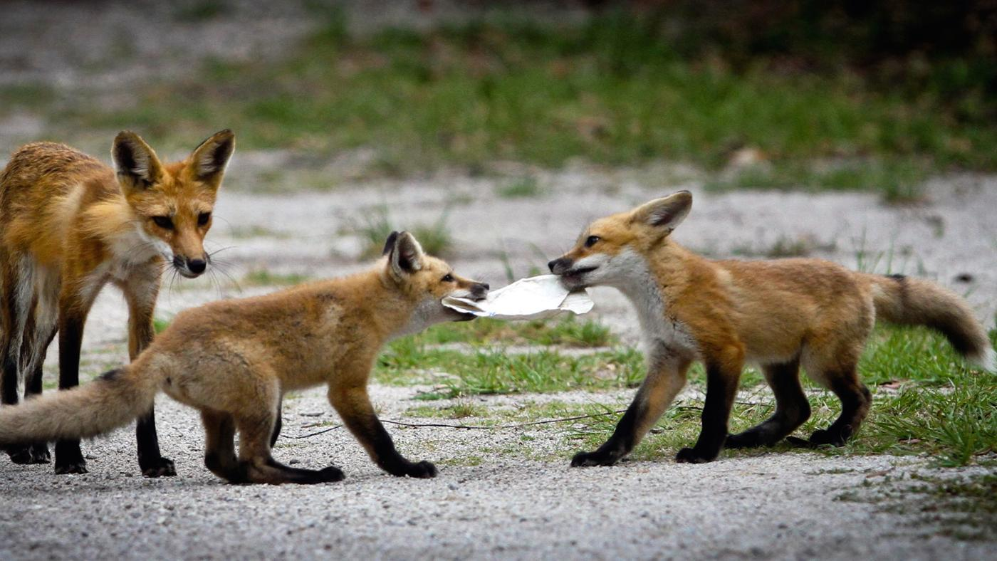 What Does a Red Fox Eat?