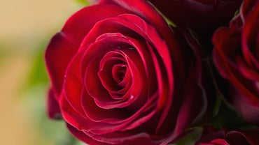 What Do Red Roses Mean?