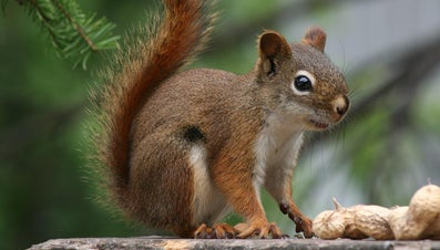 Why Are Red Squirrels Endangered?