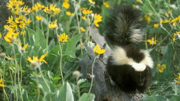 How Do You Remove the Smell of a Skunk's Spray?