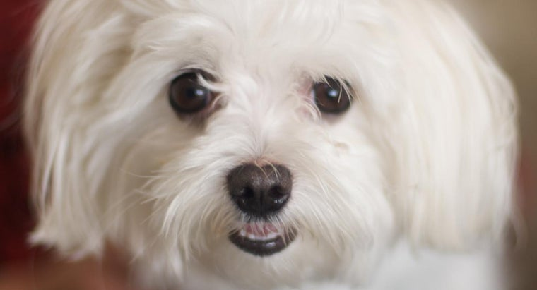 Is There a Rescue Shelter Exclusively for Maltese Dogs?