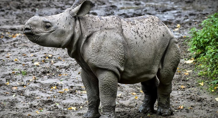 Why Are Rhinos Becoming Endangered?