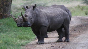 What Do Rhinos Eat?