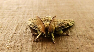 How to Get Rid of Gypsy Moths?