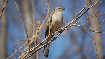 How Do You Get Rid of Mockingbirds?