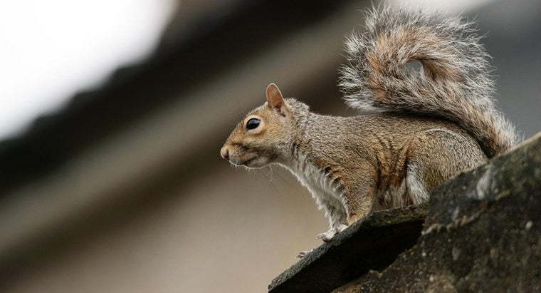 How Do You Get Rid of Squirrels in an Attic?