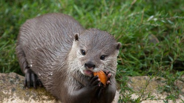 What Do River Otters Eat?