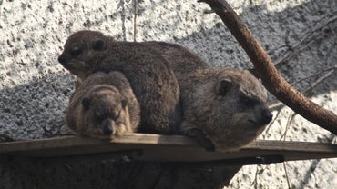 What Is a Rock Hyrax?