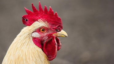 How Do Roosters Fertilize Eggs?