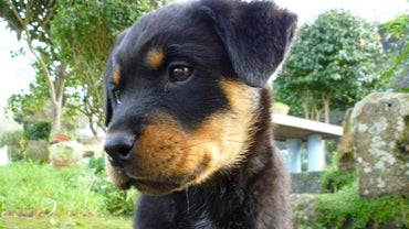 When Is a Rottweiler Considered Fully Grown?