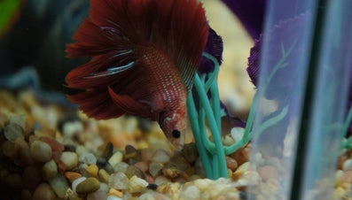 What Is a Safe Plant for a Betta Fish Tank?