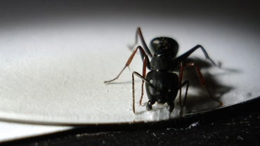 Does Salt Kill Ants?