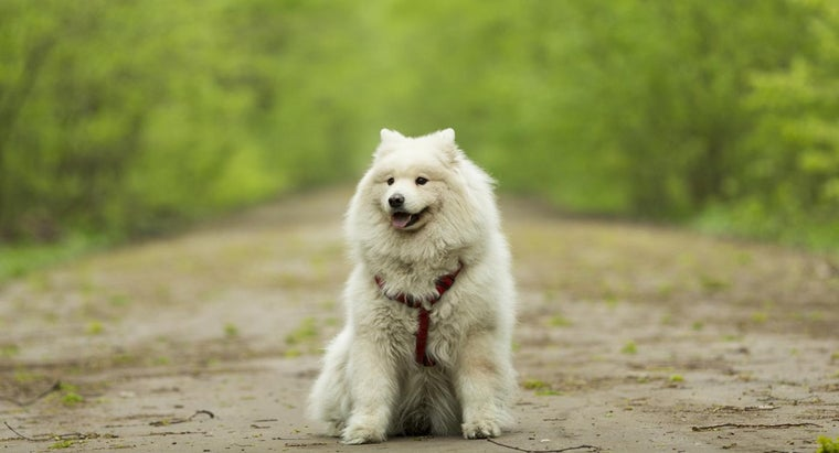 Is a Samoyed Dog Hypoallergenic?