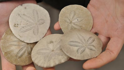 What Do Sand Dollars Eat?