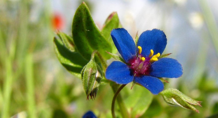 What Is the Scarlet Pimpernel Flower?