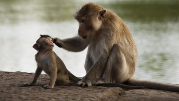 What Is the Scientific Classification of a Monkey?