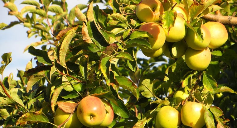 What Is the Scientific Name of an Apple?
