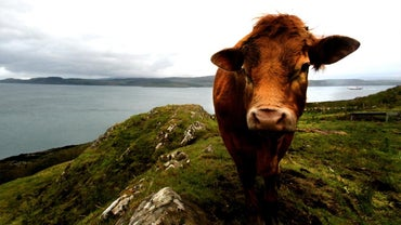 What Is the Scientific Name for Cow?