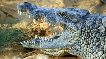 What Is the Scientific Name for a Crocodile?