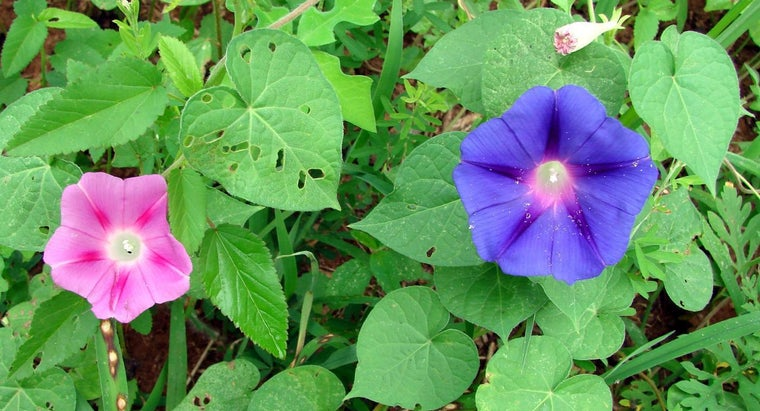 What Is the Scientific Name of the Morning Glory?