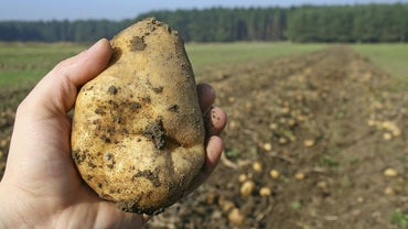 What Is the Scientific Name for Potato?
