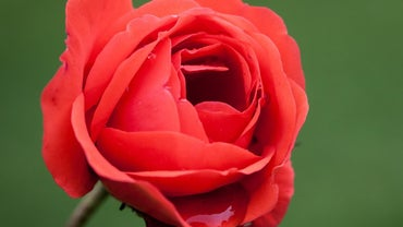What Is the Scientific Name of a Rose?