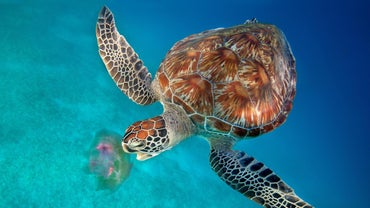 What Do Sea Turtles Eat?