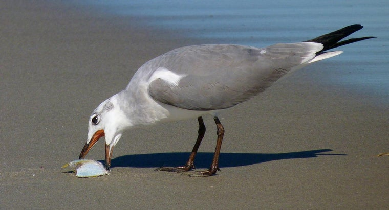 What Do Seagulls Eat?