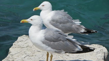 Why Are Seagulls a Protected Species?