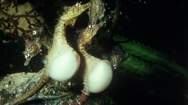 How Does a Seahorse Give Birth?