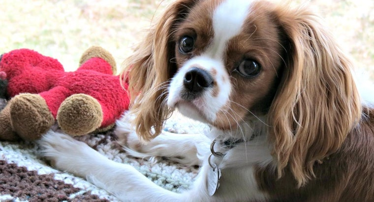 How Do You Select a Teacup Cavalier King Charles Spaniel?