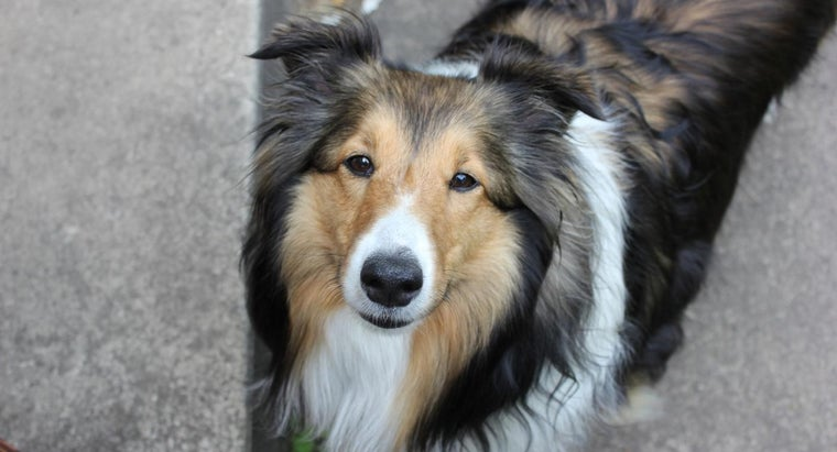 What Is a Shetland and Sheepdog Mix?