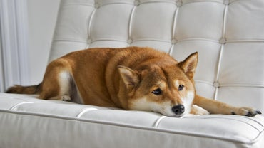 Is the Shiba Inu Hypoallergenic?
