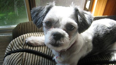 Do Shih Tzus Have Underbites?