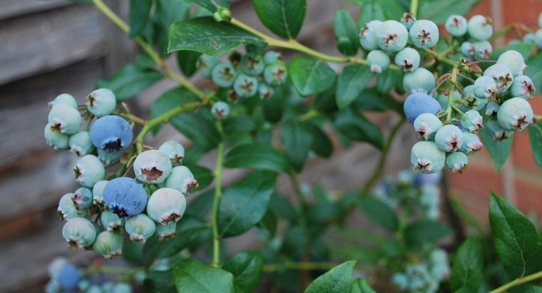 Should Blueberry Bushes Be Placed in Full Sun Light?