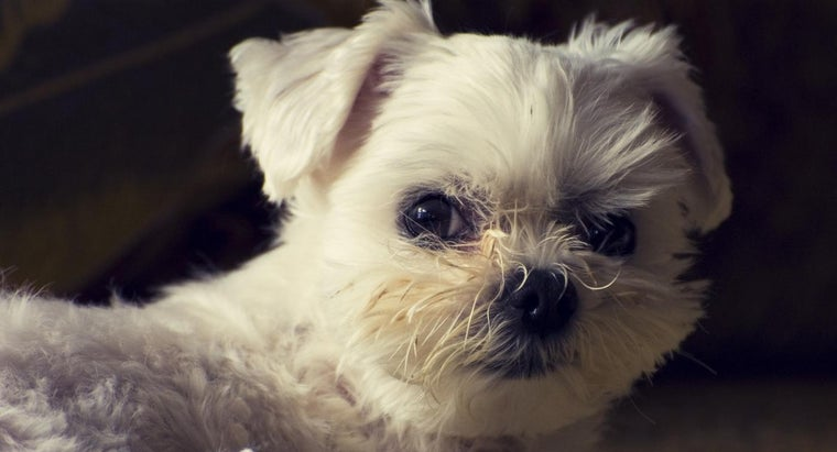 Should a Busy Family Adopt a Teacup Maltese?
