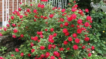When Should You Fertilize Knockout Roses?