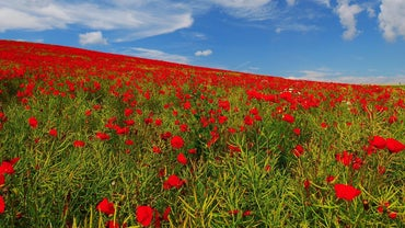 Should Poppies Be Deadheaded?