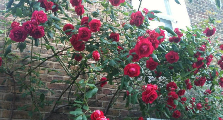 Should You Prune Roses in the Winter?