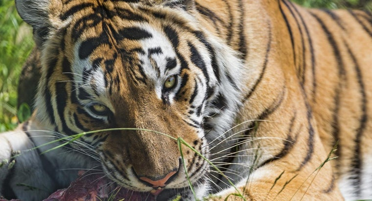 What Do Siberian Tigers Eat?