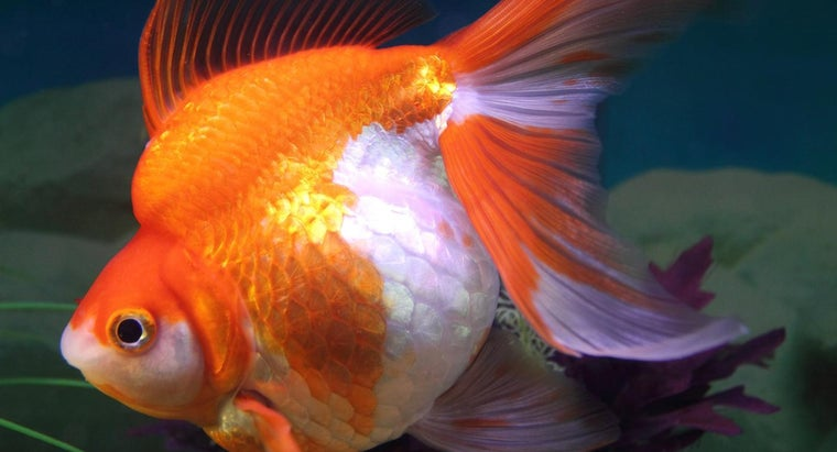 What Are the Signs of a Pregnant Goldfish?