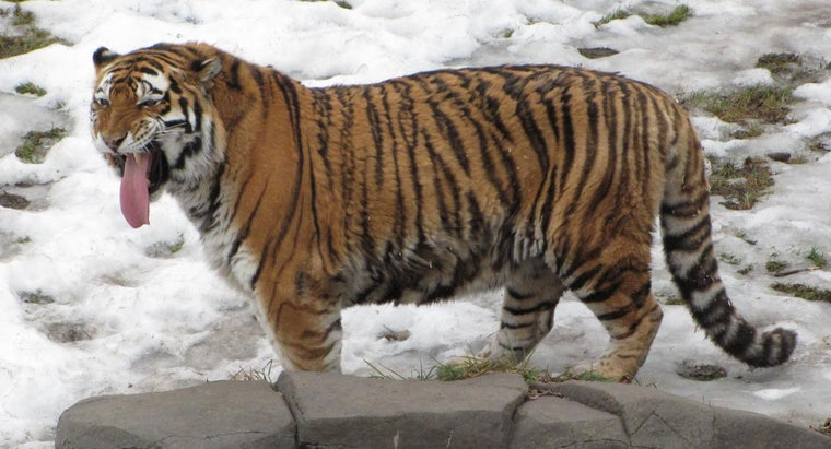 What Are the Similarities and Differences Between the Siberian Tiger and the Bengal Tiger?