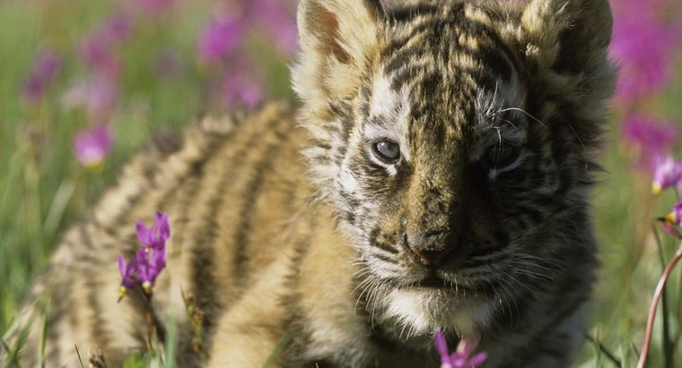 What Is the Size of a Baby Siberian Tiger?