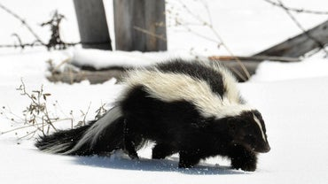 What Is a Skunk's Habitat?